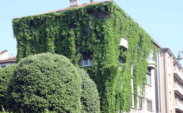 Verde verticale foto del giorno corriere di bologna for Edera rampicante